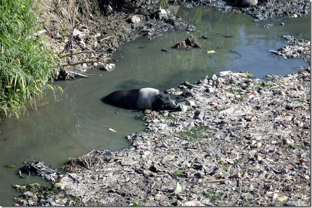 101108_P1020534_Nepal, Kathmandu, unterwegs, vermüllter Fluss, Schwein