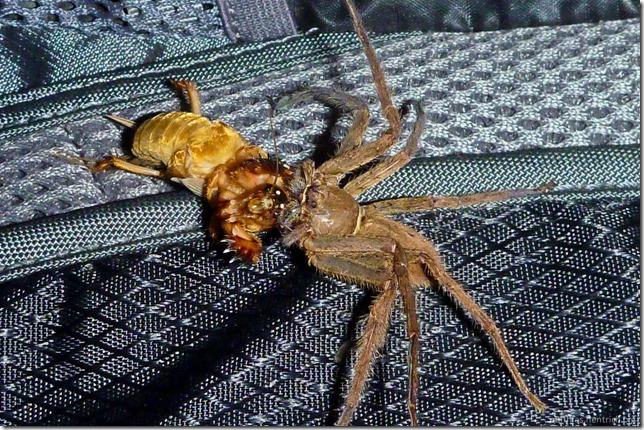 101112_P1020791_Nepal, Chitwan Nationalpark, Unterkunft, Kampf, Spinne Heuschrecke