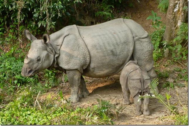 101113_P1020833_Nepal, Chitwan Nationalpark, Dschungel-Elefantensafari, Rhinos