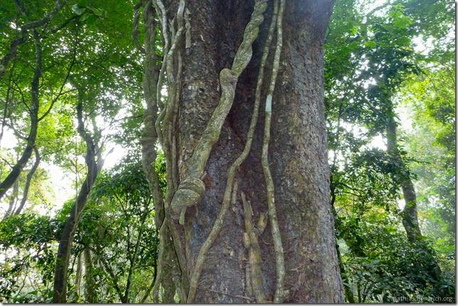 101113_P1020846_Nepal, Chitwan Nationalpark, Dschungel-Elefantensafari, Baum