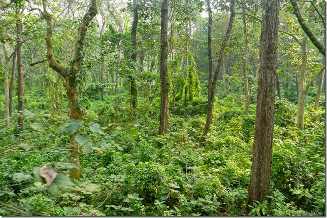 101113_P1020858_Nepal, Chitwan Nationalpark, Dschungel-Elefantensafari, Dschungel