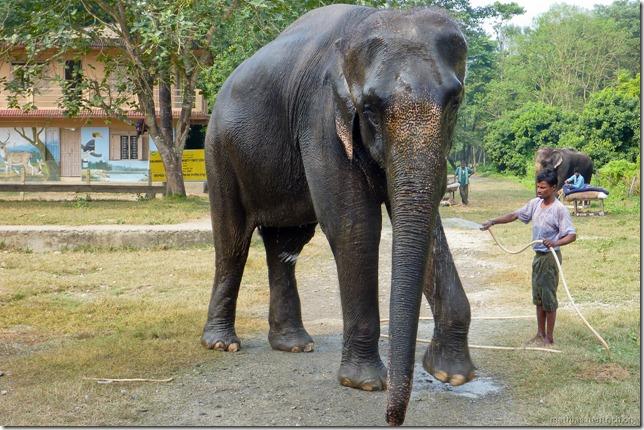 101113_P1020887_Nepal, Chitwan Nationalpark, Dschungel-Elefantensafari, Elefant
