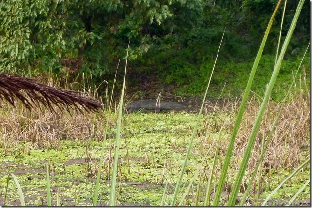 101113_P1020924_Nepal, Chitwan Nationalpark, Jeeptour, Krokodil