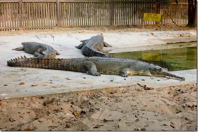 101113_P1020946_Nepal, Chitwan Nationalpark, Jeeptour, Krokodilfarm